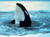 Orca_spyhoppingnoaa